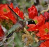 Colibri avec des fleurs de cactus. photos libres de droits