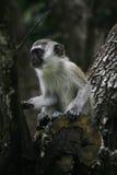 Un negro hizo frente al mono de Vervet Foto de archivo