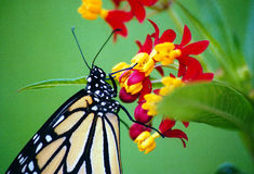 Un nettare sorseggiante del monarca Immagine Stock Libera da Diritti