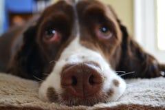Nez de chien Images libres de droits
