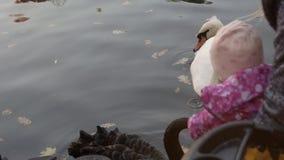 Un niño alimenta los cisnes en la charca Ucrania 12 de octubre de 2018 metrajes