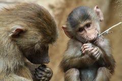 Un niño del babuino mordisca una cuchilla de la hierba fotos de archivo