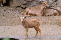 Un niño marrón con los padres Cabras salvajes Imágenes de archivo libres de regalías