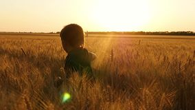 Un niño pequeño corre a través de un wheatfield, experimentando emociones: felicidad, alegría, placer El concepto de agricultura almacen de metraje de vídeo