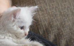 Un niño pequeño joven y alegre está jugando con un gato blanco en el sofá Un pequeño gato mullido blanco en el sofá Imagen de archivo