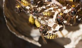Un nid d'une guêpe de papier Insecte prédateur utile de jardin, qui détruit des parasites images stock