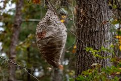 Un nid de frelons image stock