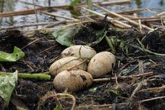 Un nido degli uccelli Immagini Stock