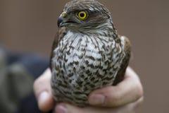 Un nisus euroasiatico adulto del Accipiter dello sparrowhawk salvato e tenuto per lasciare andare ad un centro di salvataggio del immagine stock libera da diritti