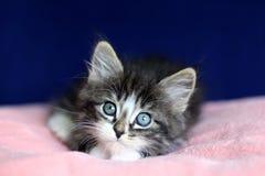 Un noir et blanc gris tigré de petit chaton norvégien en position menteuse avec des yeux à haut sur le coussin rose et le fond bl image libre de droits