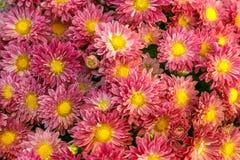Un nombre important de chrysanthèmes fleurissants rouges s'est rassemblé en un p Images libres de droits