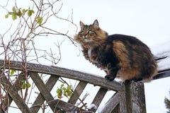 Un Norvégien Forest Cat s'est élevé sur une barrière Photos libres de droits
