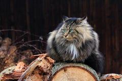 Un norvegese arrabbiato di aspetto Forest Cat Fotografia Stock