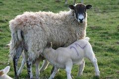Un nourrisson d'agneau sur un mouton de mère Image libre de droits