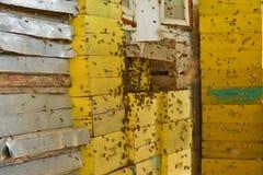 Un nouvel essaim des abeilles déplaçant indépendamment la ruche photographie stock