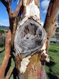 Un nudo inusual en un árbol de goma en Australia Imágenes de archivo libres de regalías