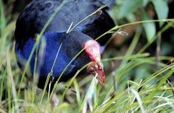 Un nuevo Zeland Pukeko Imagen de archivo libre de regalías