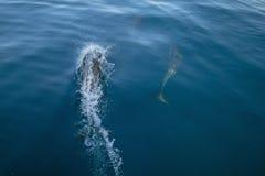 Un nuoto bottlenosed comune di tre delfini subacqueo vicino a porto Hueneme fuori dalla costa di California in U.S.A. immagini stock