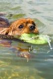 Un nuoto del cane con l'anello del fubber Fotografie Stock Libere da Diritti