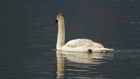 Un nuoto del cigno in un lago video d archivio