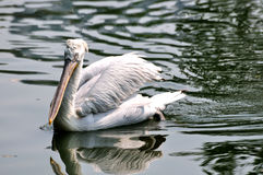 Un nuoto del pellicano bianco in acqua Immagine Stock Libera da Diritti