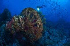 Un nuoto del subaqueo attraverso una scogliera in pieno del pesce Immagine Stock