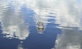 Un nuoto dell'alligatore Fotografia Stock Libera da Diritti