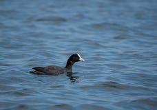 Un nuoto della folaga su un lago con acqua blu Fotografia Stock Libera da Diritti