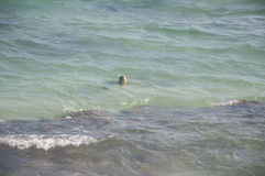 Un nuoto della tartaruga nell'Oceano Indiano Fotografia Stock Libera da Diritti