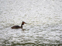 Un nuoto dello svasso maggiore su un lago Fotografia Stock Libera da Diritti