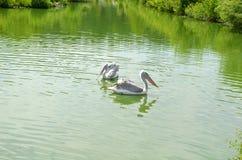 Un nuoto di due pellicani in uno stagno Fotografia Stock