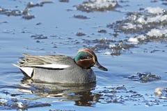 Un nuoto di Teal del maschio adulto (crecca di anas) su un lago ghiacciato. Fotografia Stock