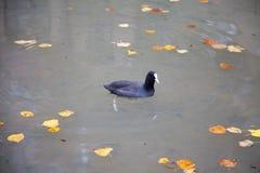 Un nuoto più gallina Immagine Stock Libera da Diritti