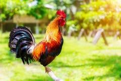 un nuovo anno di 2017 cinesi del gallo/gallo Backgro di celebrazione Fotografie Stock Libere da Diritti