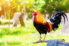 un nuovo anno di 2017 cinesi del gallo/gallo Backgro di celebrazione Fotografia Stock Libera da Diritti