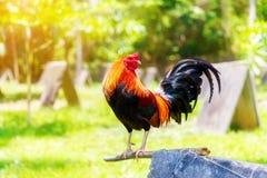 un nuovo anno di 2017 cinesi del gallo/gallo Backgro di celebrazione Immagine Stock Libera da Diritti