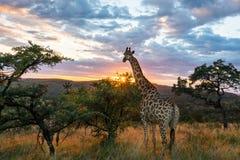 Un nuovo giorno per una giraffa fotografia stock