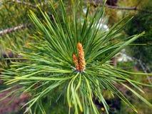 Un nuovo seme è comparso sul ramo del pino fotografie stock libere da diritti