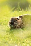 Un nutria su erba verde Fotografia Stock