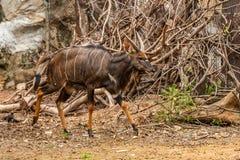 Un nyala maschio è un'antilope spirale-cornuta fotografia stock libera da diritti