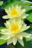 Un Nymphaea di due fiori. Immagini Stock
