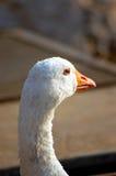 Un'oca bianca Immagine Stock