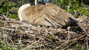 Un'oca che si siede sul suo nido immagini stock libere da diritti