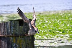 Un'oca del Canada sta volando gi? verso il lago immagini stock libere da diritti