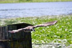 Un'oca del Canada sta volando gi? verso il lago fotografie stock