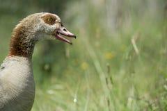 Un'oca maschio arrabbiata difende la sua nidiata Fotografie Stock
