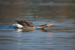 Un'oca selvatica all'alba sull'acqua blu fotografia stock libera da diritti