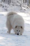 Un odore di neve Fotografie Stock Libere da Diritti