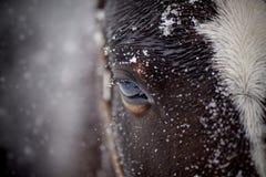 Un oeil d'un cheval brun humide dans la neige Photo libre de droits
