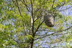 Un oeil plus attentif aux espèces d'un vespa de ` de frelons nichent Photos libres de droits